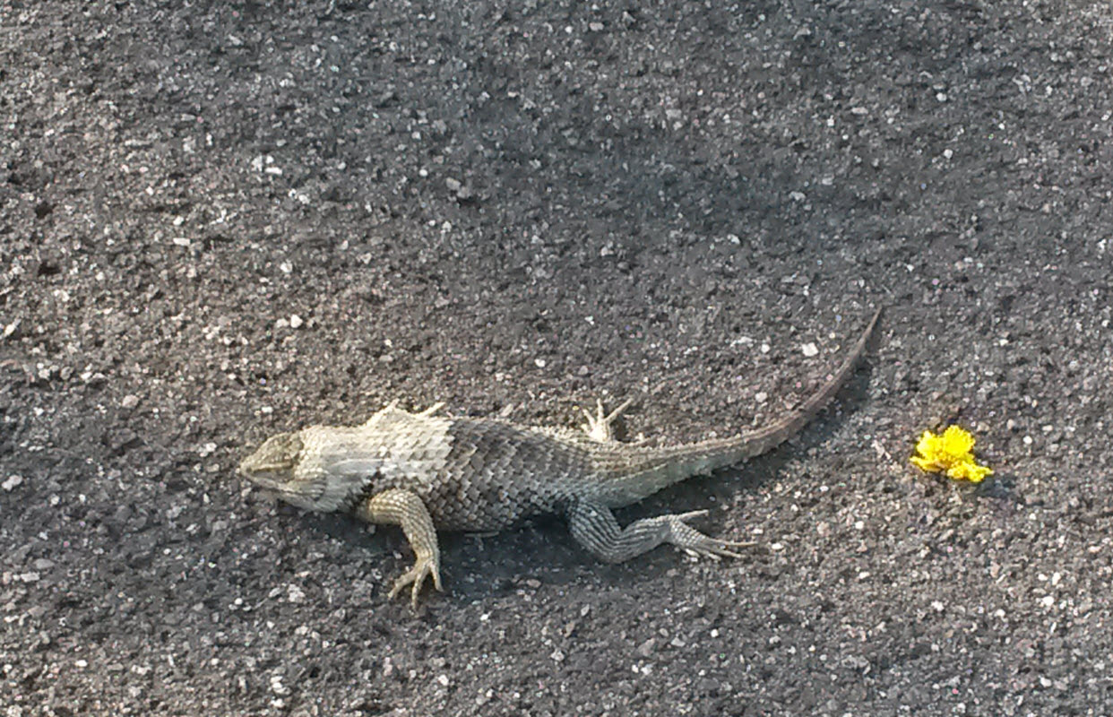Lizard I saw while out riding