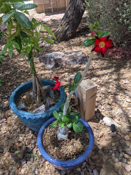 Our Desert Rose bloomed